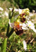Bee Orchid by imperator-antea