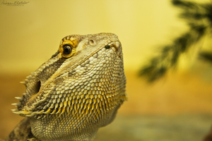 Pogona Lizard by AndrewFletcher