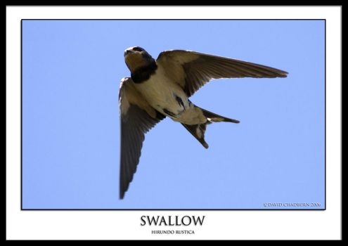 Swallow. j by THEDOC4