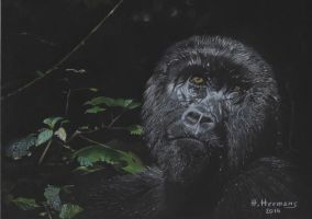 Mountain Gorilla by HendrikHermans