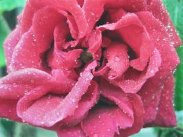 Rose with water by SalmasPhotos