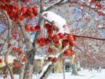 Red Berries in Snow #2750 by darenw