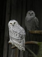 Snowy Owls in Ahtari by xTwilightWingsx