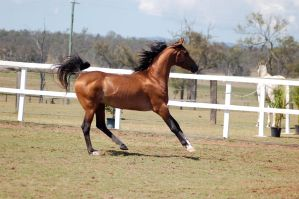 GE Arab bay canter front legs straight side view by Chunga-Stock