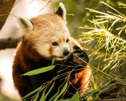 Red Panda - Lunch On A Limb by Daveinwilton