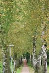 alley with birch trees by ingeline-art