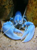 blue lobster by amk2z3ro