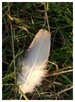 A lost White Feather by Chrispynutt