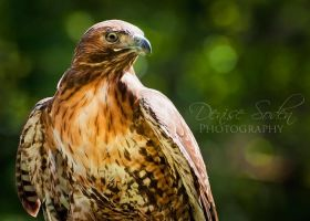 Red Tail Hawk by DeniseSoden