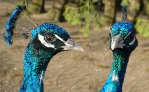 Peacock Head by MapleRose-stock