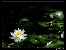 Lotus by IcarusProject