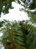 Pine and snow by PhilipCapet