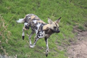 African Wild Dog 8 by lucky128stocks