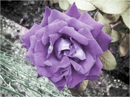 purple rose by Lucy-Redgrave