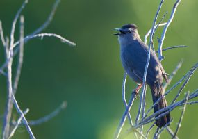 Gray Catbird-Evening Song by JestePhotography