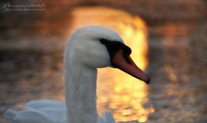 Swan from the series 1-1 ~ AStoKo by AStoKo