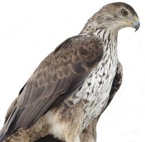 Hawk by NoraDevius