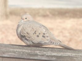 Mourning Doves at Noon 2 by DragonflyLite