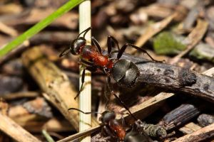 Ant soldier by thordi