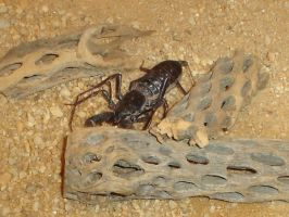 Whip Scorpion by Archanubis