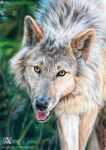 White wolf by Azany