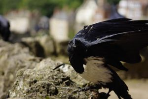 African White necked Raven by Hyperborean1987