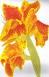 Canna Lillies by Peachfuzz