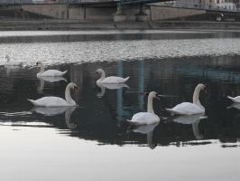 RHONE RIVER AND SWANS by A1Z2E3R