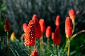 Red Hot Pokers by timlee9932