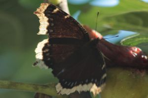 Mourning Cloak by Laur720