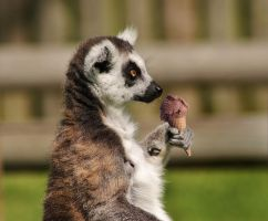 Lunchtime Lemur by mikedaws