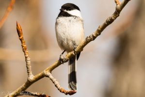 Chickadee on a branch by sgt-slaughter