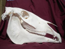 Domestic Horse Skull Stock by Minotaur-Queen-Stock