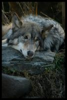 Let Sleeping Wolves Lie 007 by LoneWolfPhotography