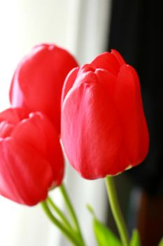 Tulips by midnight-heaven12