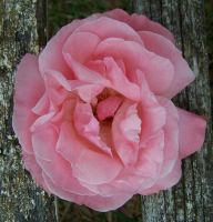 Pink Rose Plant Nature Stock by Gracies-Stock