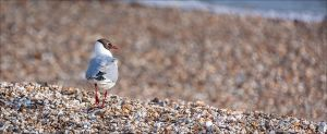 Black-headed Gull by BFGL