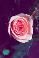 Rose passion by Einas-A