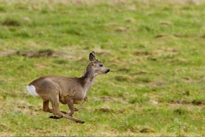 Roe Deer in Flight by thrumyeye
