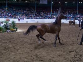 US Nationals - Halter 21 by Nyaorestock