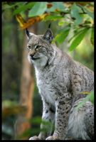 European Lynx by Wolfy2k4