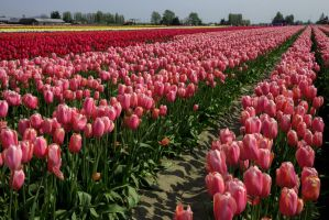 Tulip Festival Washington State 2015 by Ericseye