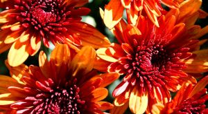 autumn flowers 4 by airsteve