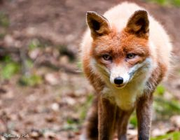 Red Fox3 by PictureByPali