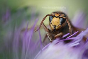 Hornet looking into your soul by IreneHorvath
