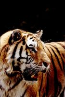 Tiger 6 by Art-Photo