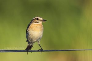 Whinchat by xstarkiller