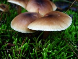 Stock Photo - Forest Mushroom and Moss #4 by croicroga