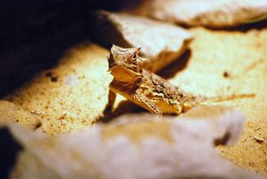 Horned Lizard 03 by ManitouWolf
