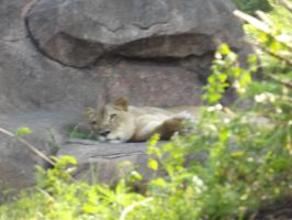 Lazy Lioness by DevilsWatchOverUs